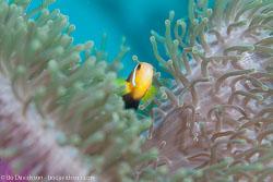 BD-130710-Maldives-0031-Amphiprion-nigripes.-Regan.-1908-[Maldive-anemonefish].jpg